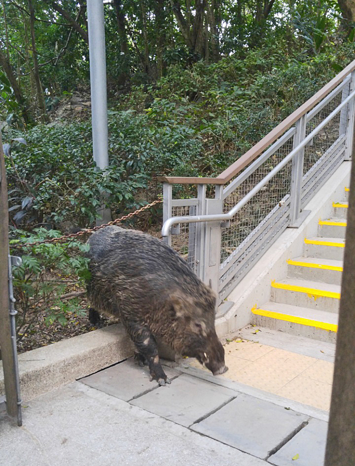 Wild boar on sidewalk in Hong Kong