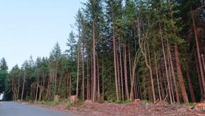 Vertical tree trunks at sundown